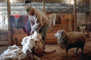 Hinman award for best fleece at vermont Sheep & Wool Festival
