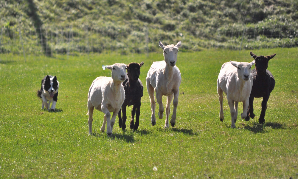 sheep herding with border collies - vermont sheep & wool festival